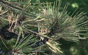 pine-needle-scale